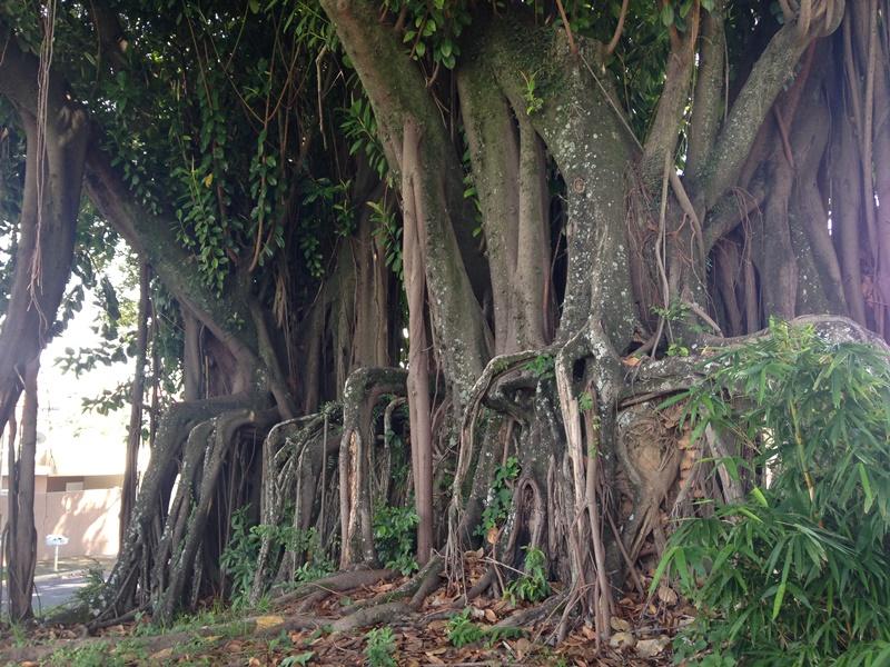 Casarão da Fazenda Jambeiro - Campinas - Raízes que se moldaram no formato do muro (que havia) na entrada da fazenda